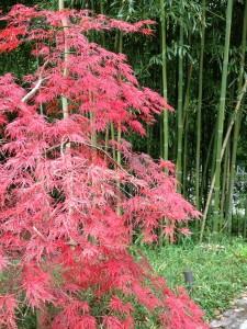 Red Dissectum Maple